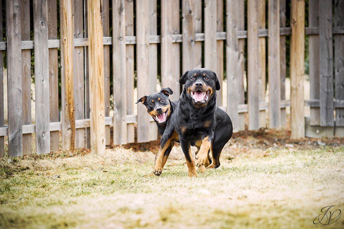 rottweiler portrait albany, beautiful rottweiler photos, albany pet portrait, albany pet photographer