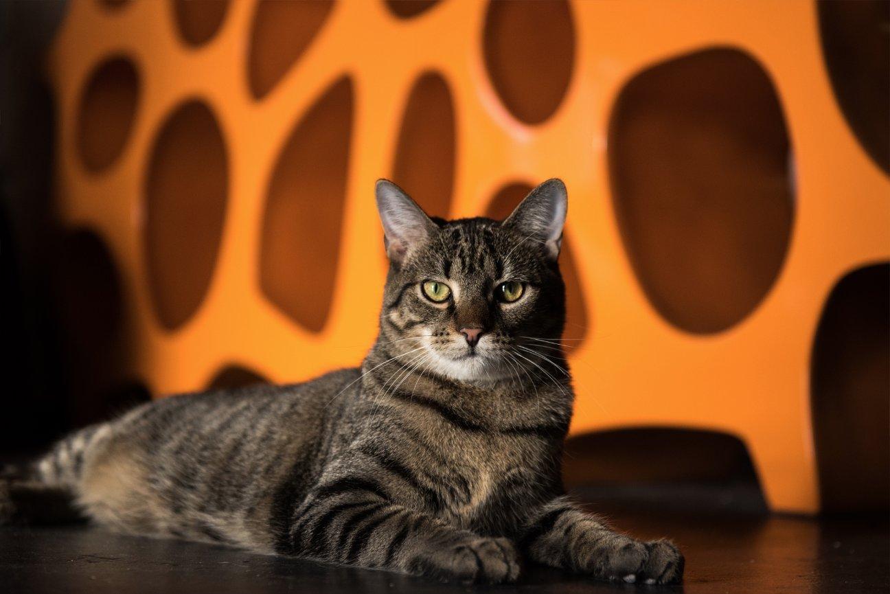 WALL OF FAME - Mac Tabby Charlotte\'s Cat Café