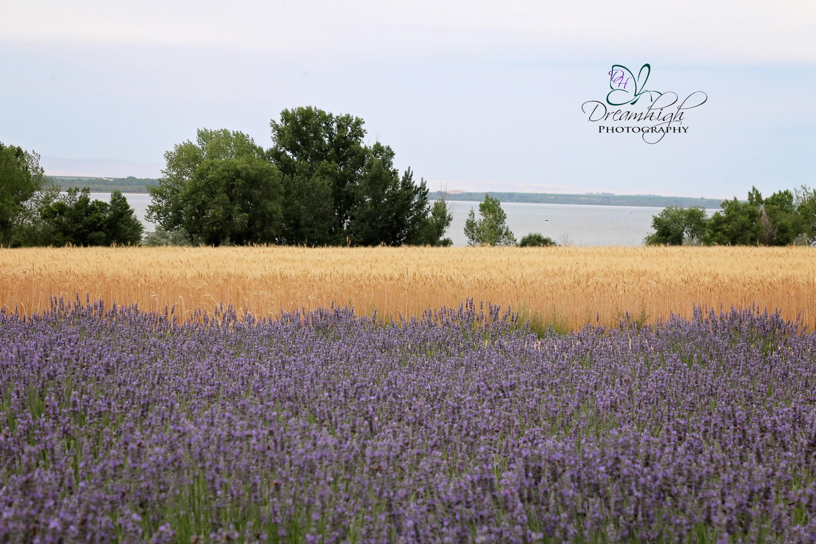 The Lavender Fields In Nampa Dreamhigh Photography