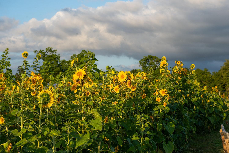 Florida sunflowers, Florida sunflowers at sunset, Florida sunflowers after a storm, Rya Duncklee
